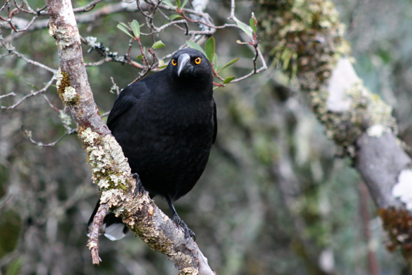 An image of a Currawong in a tree taken in Cradle Mountian